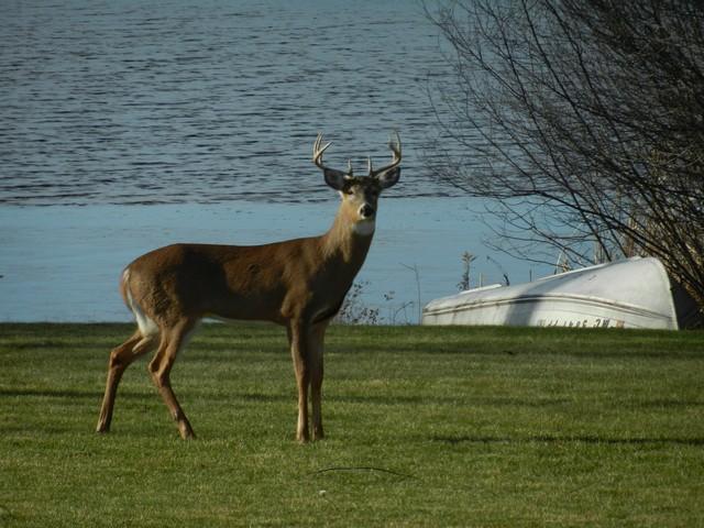 Buck by lake