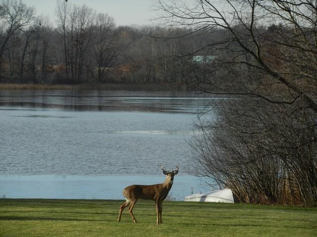 Deer by lake