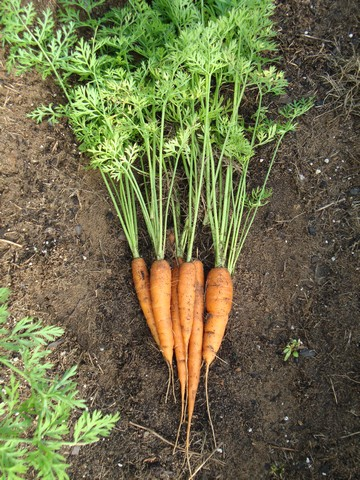 Carrots, harvested