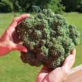Huge, homegrown, delicious broccoli.  How to grow your own vegetables in your back yard.