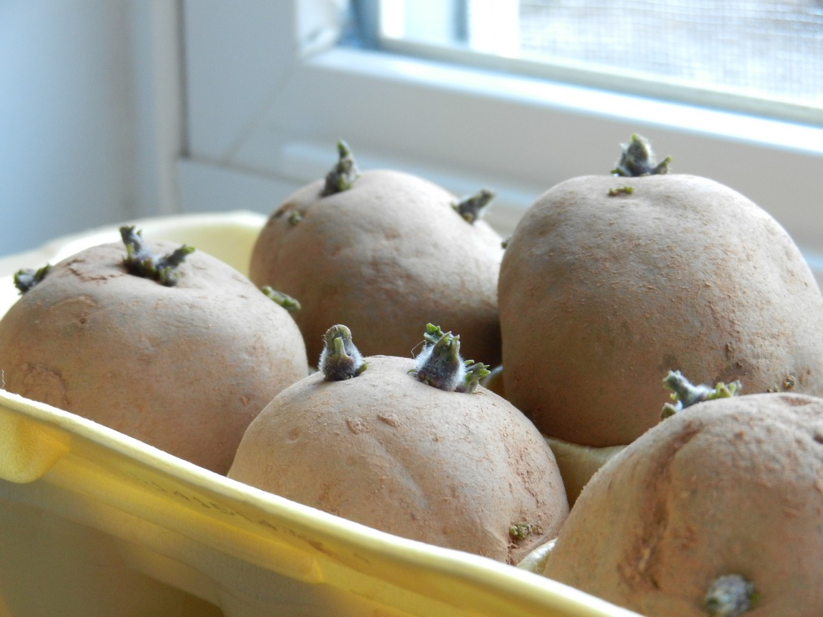 Chitting Sprouting Seed Potatoes Before Planting Gives Them A Head Start Lots