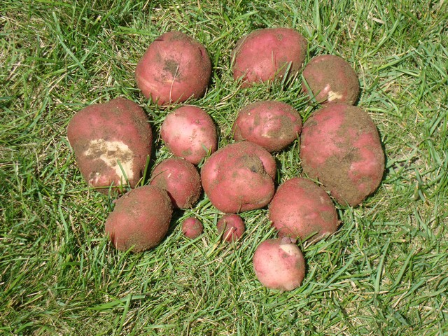 Harvest of red skin potatoes