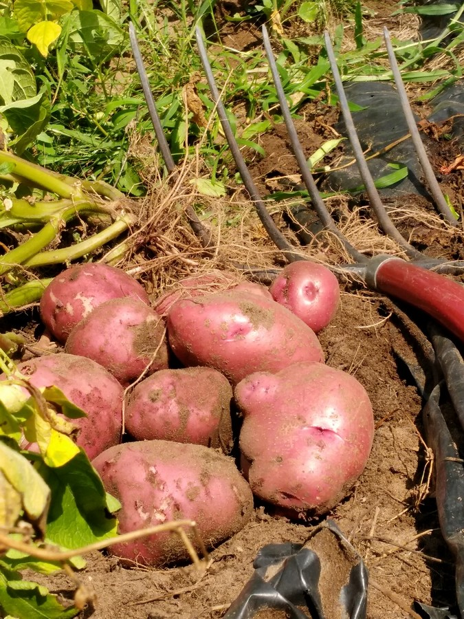 In this post I will go over some details on when and how to harvest potatoes as well as what I have learned about storage. Also see my other posts in this ... & Harvesting and Storing Potatoes from Your Own Home Garden | The ...