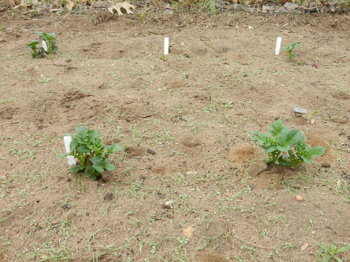Hilling homegrown potato plants. How to plant and grow potatoes in your vegetable garden.