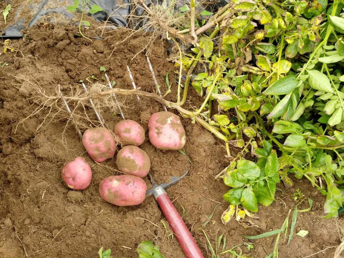 Weeds in flower beds with potato like roots - In This Picture The Last Little Bit Of My Potatoes Have Been Harvested And My Garden Is Now Ready For Tilling Before Winter