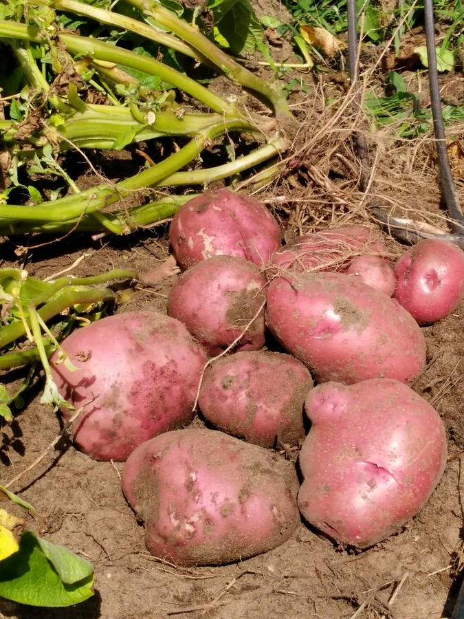 Here are some of the beautiful red skin potatoes that I harvested. & Harvesting and Storing Potatoes from Your Own Home Garden | The ...