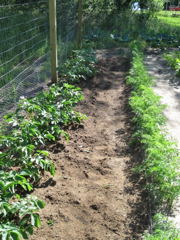 Gardening: Rows of potatoes (L) and carrots (R)