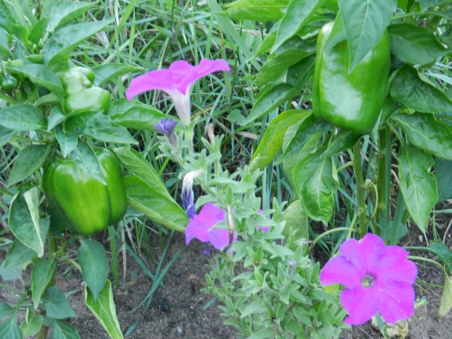 Petunias by peppers in vegetable garden, deter pests
