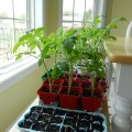 Growing tomato plants from seed, transplanting seedlings, how and when