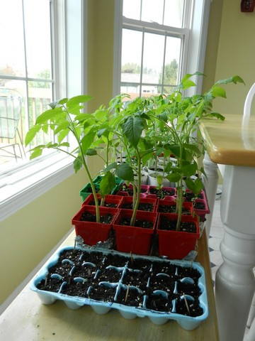 How & When to plant tomato seed, picture guide, transplanting