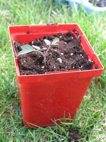 how to take care of tomato plants from seed