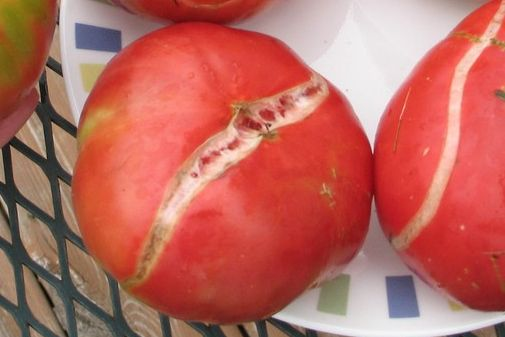 Common tomato problems, splitting, cracking and more, and how to treat or prevent naturally.