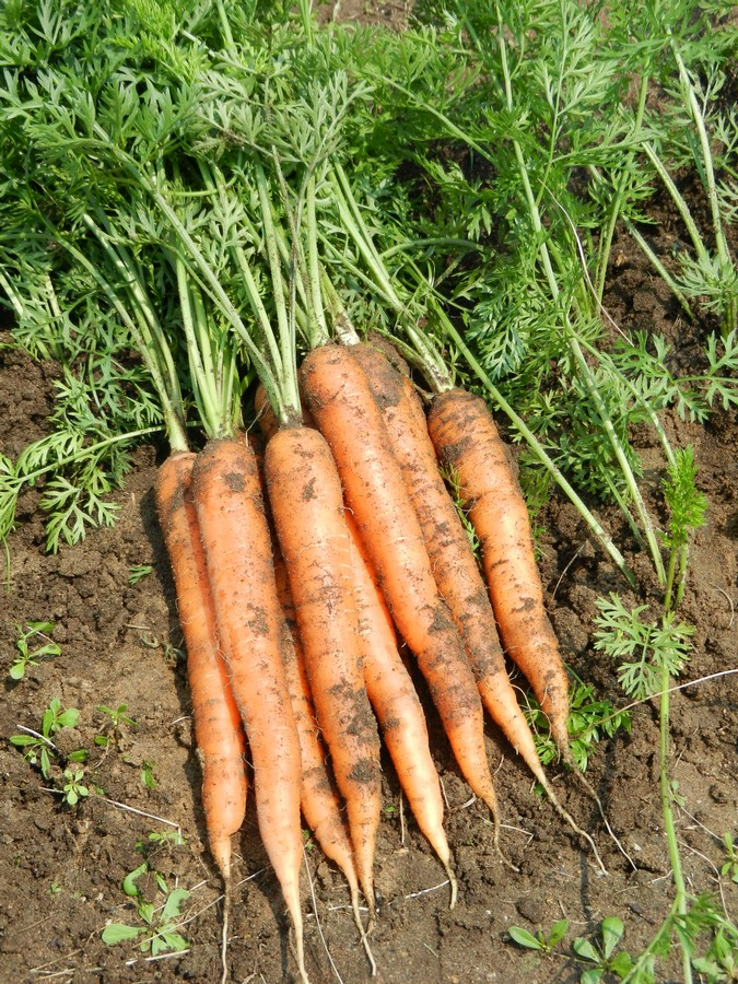 Perfectly home grown carrots, lots of helpful tips and pictures!