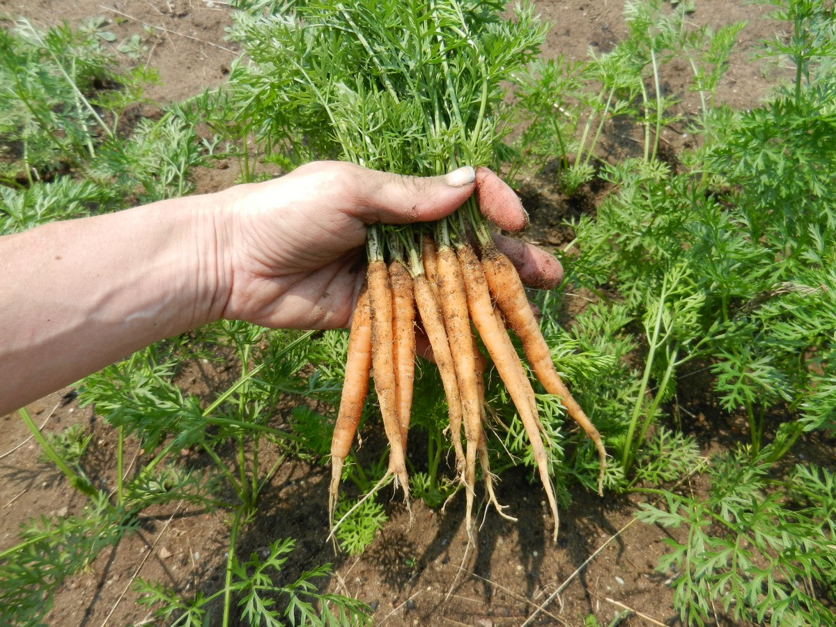 Carrots: planting and care 20