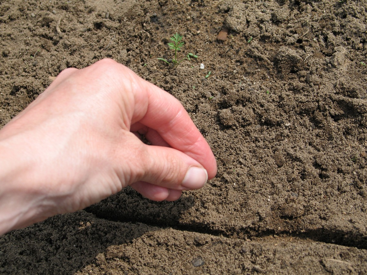 Planting carrot seeds. Picture tutorial on what to do to seed, sprout and get them to grow.