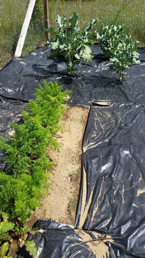 Rows of carrots growing in the home garden. Using black plastic to control weeds.