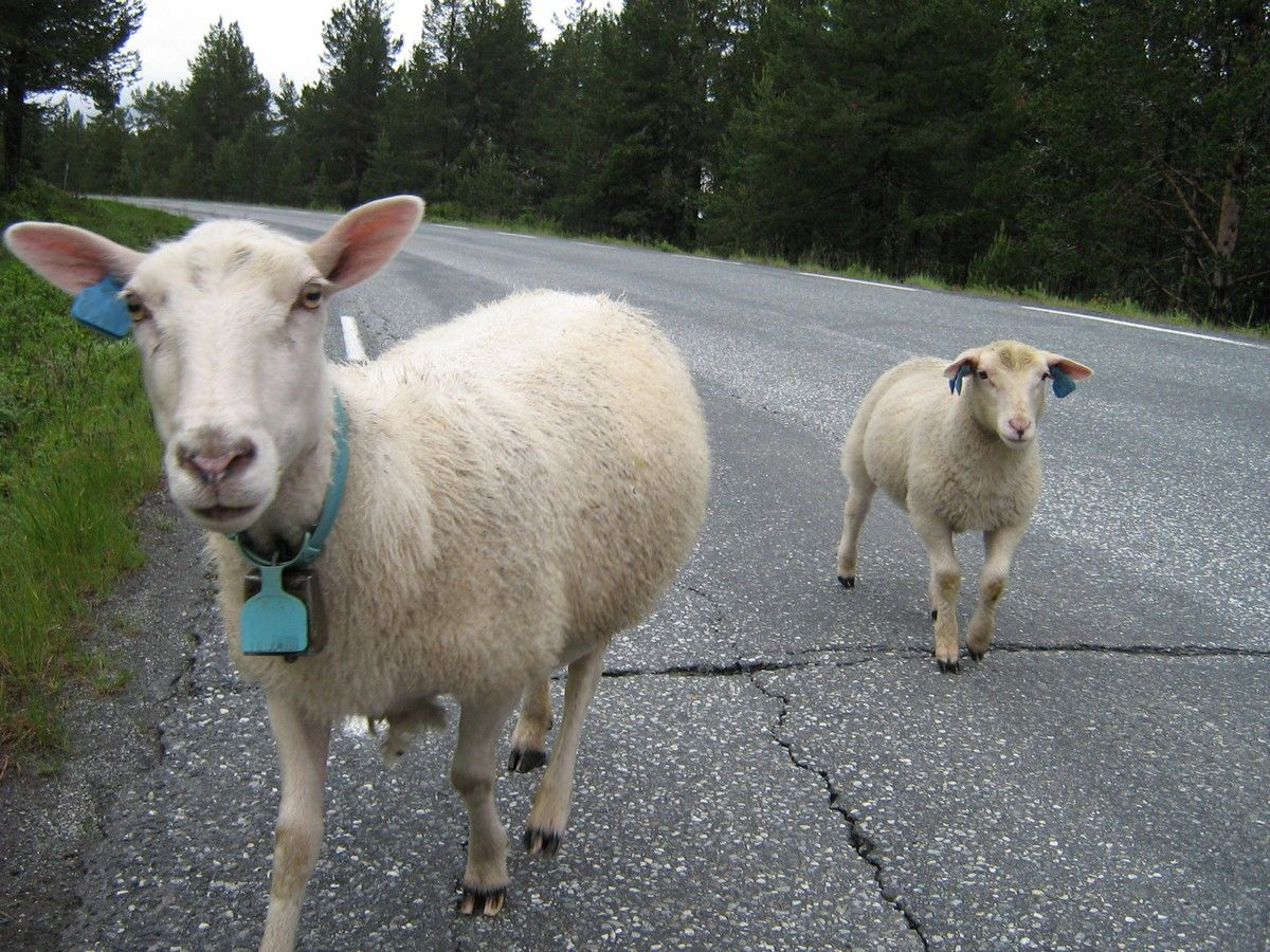 Norwegian sheep in the road